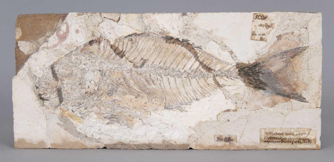 Poissons fossiles du Monte-Bolca